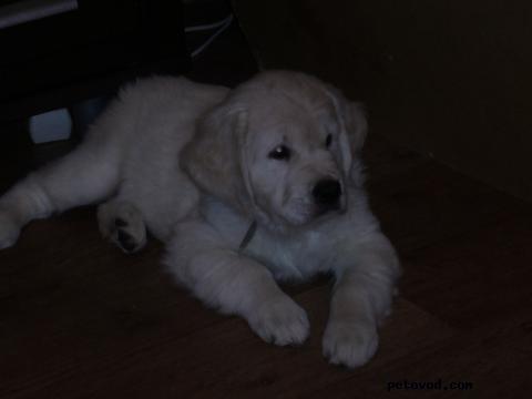 Продаю: Срочно щенки золотистого ретривера фото2