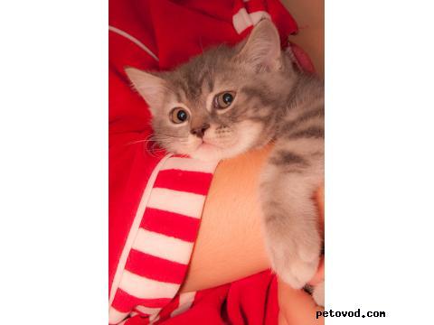 Продаю: Котенок ищет своих людей Скоттиш страйт, 3 месяца фото2