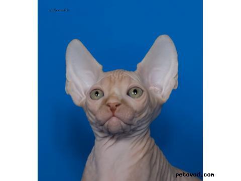 Продаю: Канадские сфинксята-котята фото4