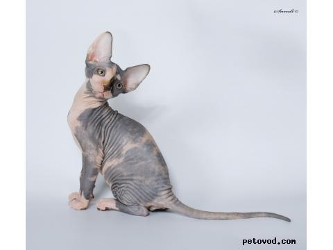 Продаю: Канадские сфинксята-котята фото3