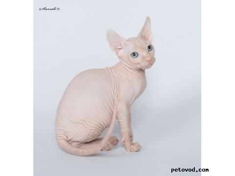 Продаю: Канадские сфинксята-котята фото2