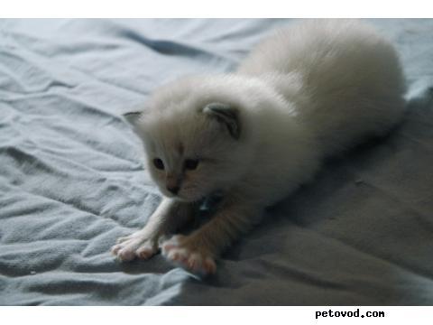 Продаю: Котята Невские Маскарадные фото4