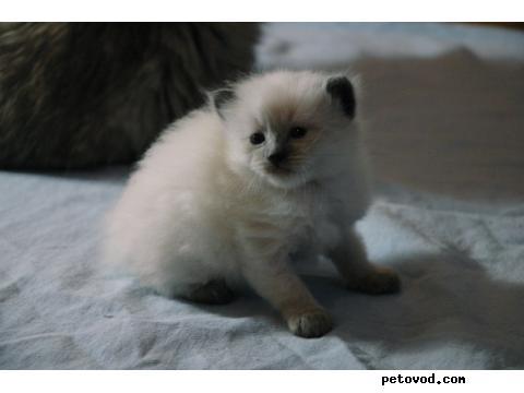 Продаю: Котята Невские Маскарадные фото3