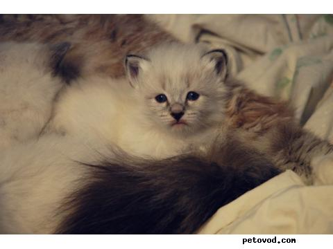 Продаю: Котята Невские Маскарадные фото2