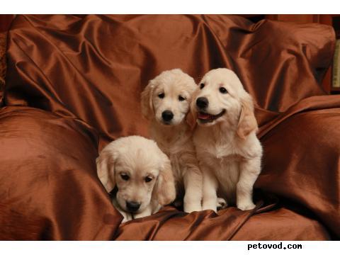 Продаю: Потрясающие щенки золотистого ретривера фото2