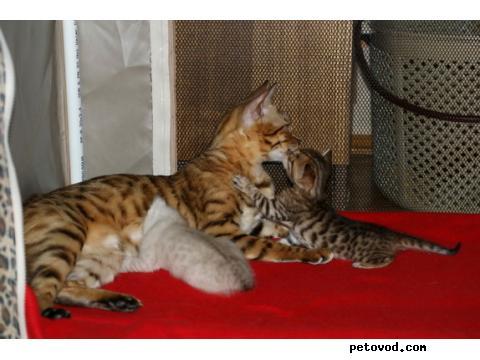 Продаю: Бенгальские котята на продажу фото3