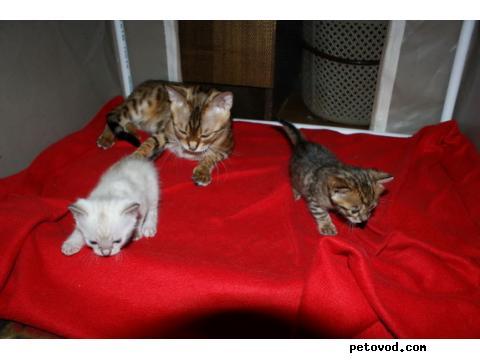 Продаю: Бенгальские котята на продажу фото2