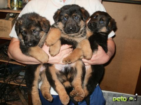 Продаю: Клубные щенки немецкой овчарки фото2