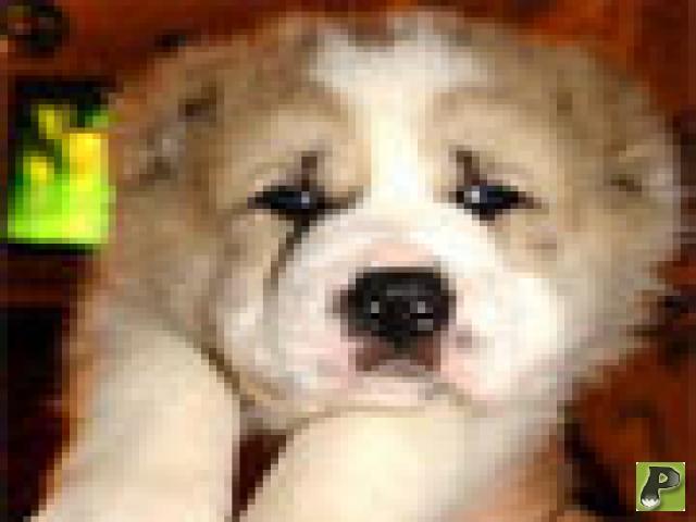 Собаки - аборигены
