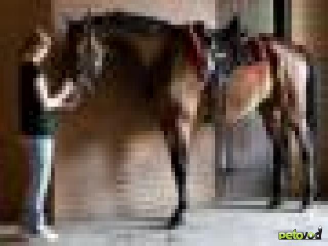 Лошадь, как