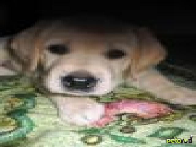 Аденовироз собак