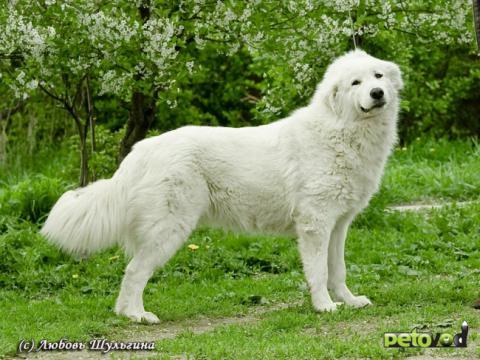Маремма-абруцкая овчарка