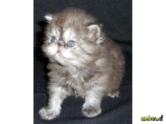 Продаю: персы и экзоты котята питомника Бриз Балтики фото2