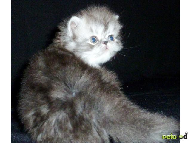 Продаю: персы и экзоты котята питомника Бриз Балтики фото3