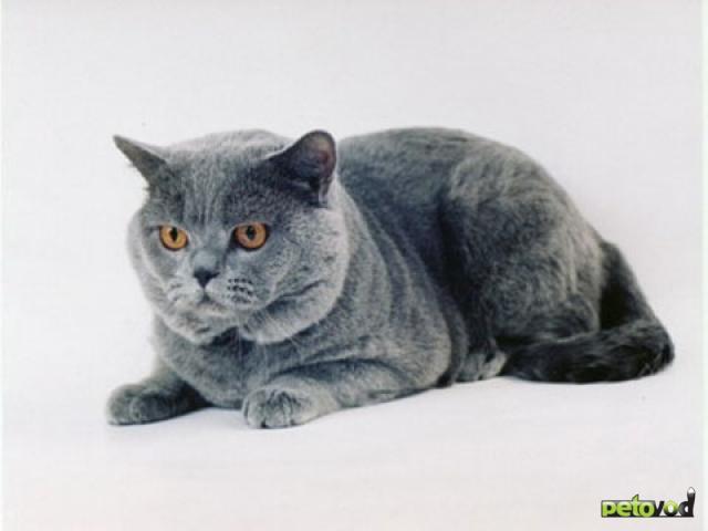 Короткошёрстные породы кошек
