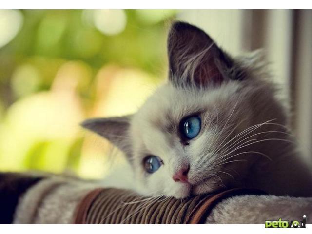 Большие кошки - особенные питомцы для особенных хозяев!