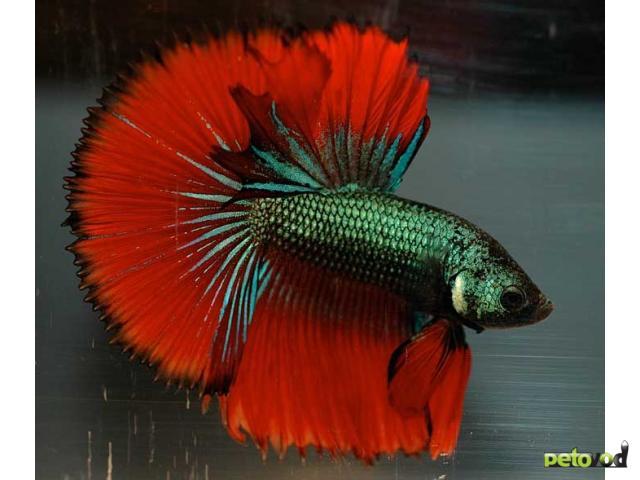 Петушок или бойцовская рыбка