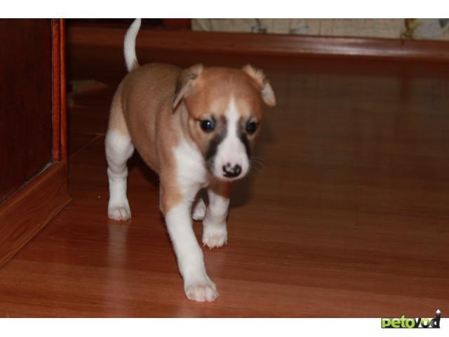 Продаю: тся щенки Уиппета (малая английская борзая) фото2