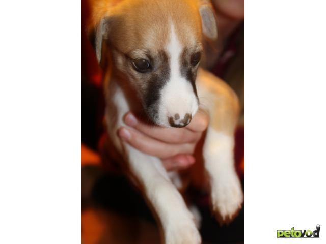 Продаю: тся щенки Уиппета (малая английская борзая) фото3