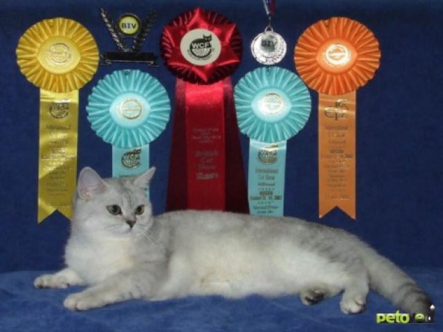 По России прокатилась волна кошачьих выставок