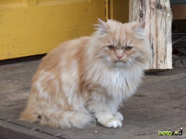 Отдам в дар: Найден симпатичный персидский кот, отдам