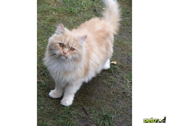 Отдам в дар: Найден симпатичный персидский кот, отдам фото2