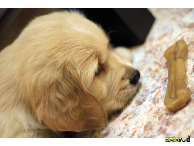 Продаю: тся щенки Золотистого ретривера