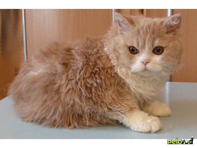 Продаю: Котята селкирк-рекс