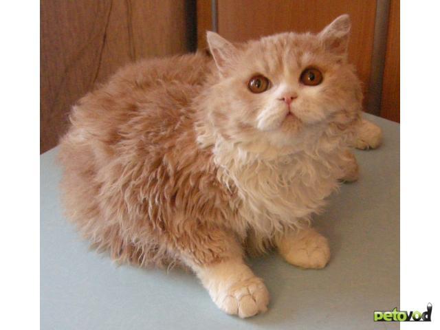 Продаю: Котята селкирк-рекс фото2