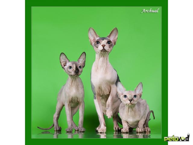 Продаю: Котята канадского сфинкса