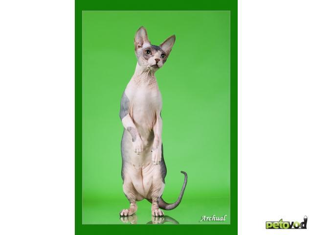 Продаю: Котята канадского сфинкса фото2