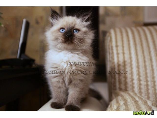 Продаю: Невские маскарадные котята от Чемпиона