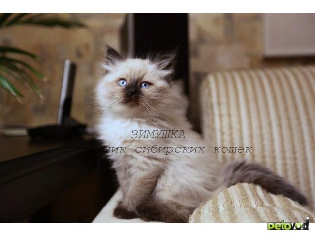 Продаю: Невские маскарадные котята от Чемпиона  фото2