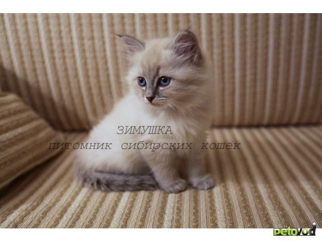 Продаю: Невские маскарадные котята от Чемпиона  фото3