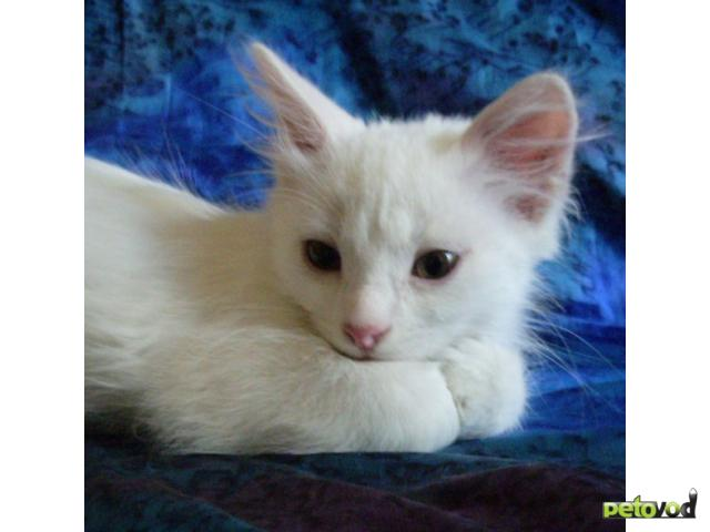 Отдам в дар: Белые котята в добрые руки фото2