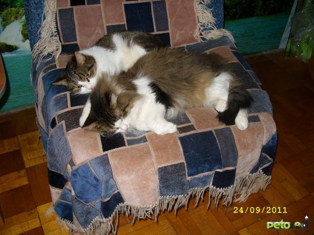 Отдам в дар: отдам кошку и двух котов