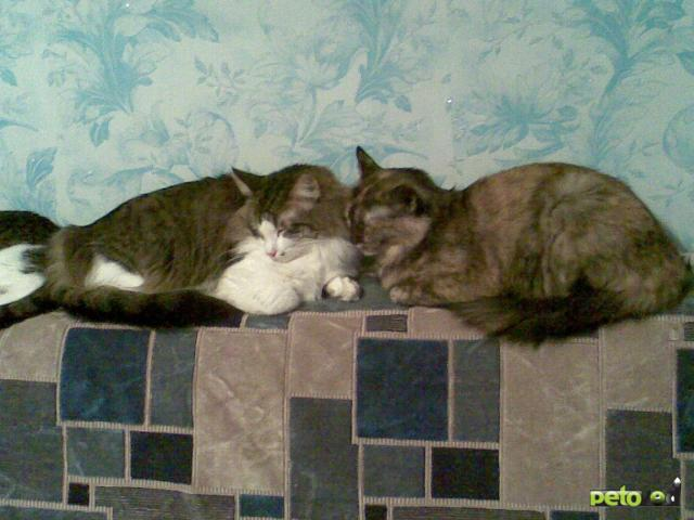 Отдам в дар: отдам кошку и двух котов фото2