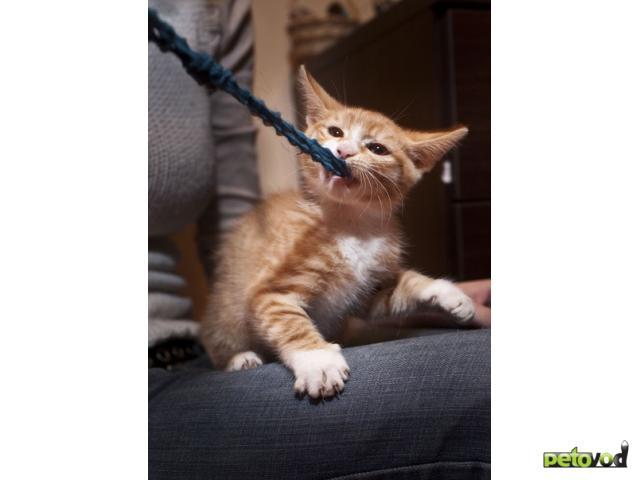 Отдам в дар: отдаю рыжего котенка фото2