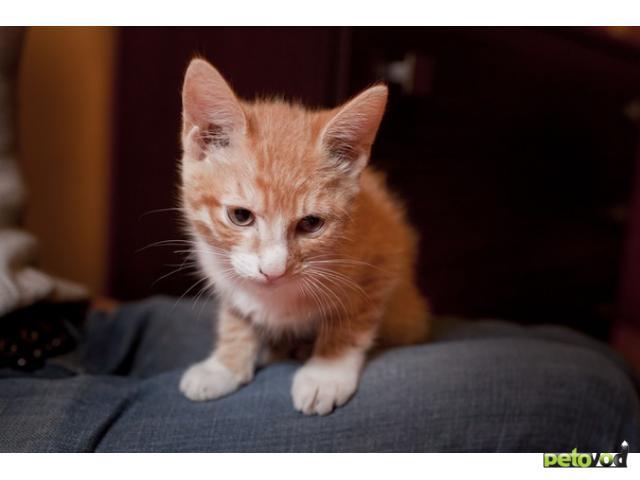 Отдам в дар: отдаю рыжего котенка фото3