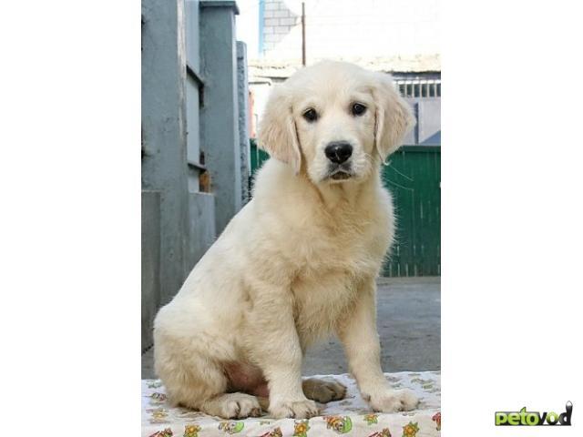 Продаю: щенки золотистого ретривера