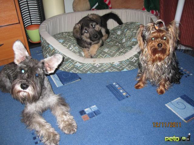 Отдам в дар: щенок метис (овчарка+гончая) фото3