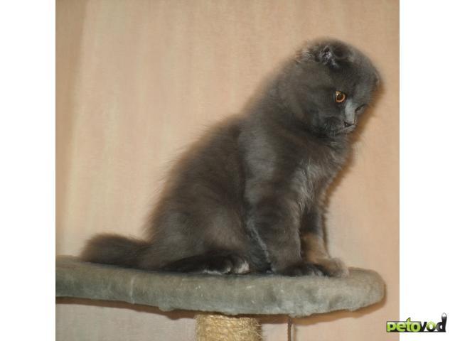 Продаю: Шотландский вислоухий котик