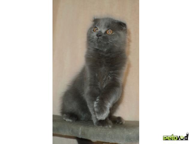 Продаю: Шотландский вислоухий котик фото2
