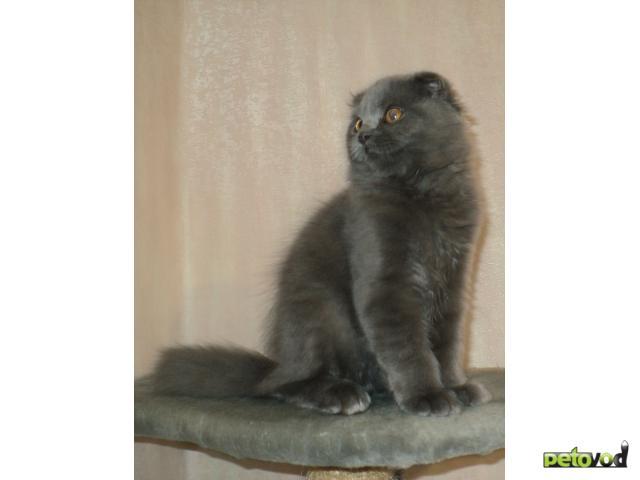 Продаю: Шотландский вислоухий котик фото3