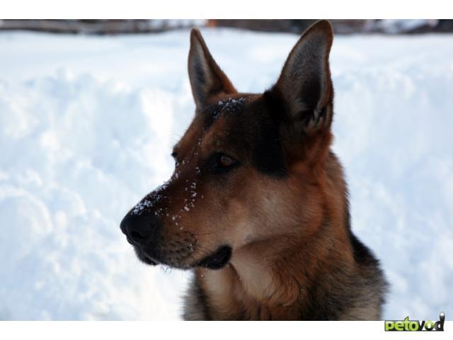 Отдам в дар: Отдам в хорошие руки хорошую собаку фото2