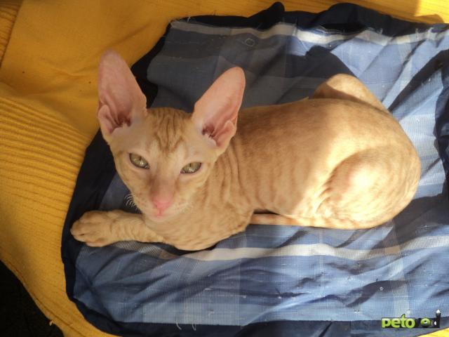 Продаю: Шикарный клубный кудрявый котик  фото2