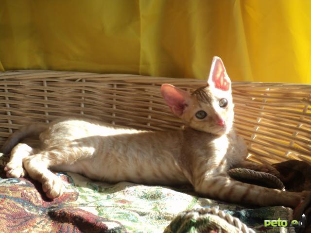 Продаю: Шикарный клубный кудрявый котик  фото3