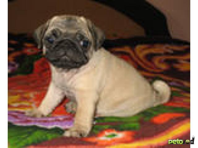 Продаю:  щенка мопса