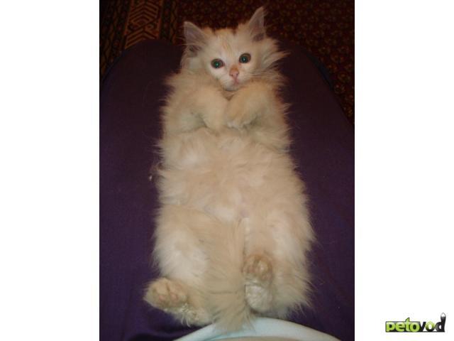 Отдам в дар: Отдам белого пушистого котёнка