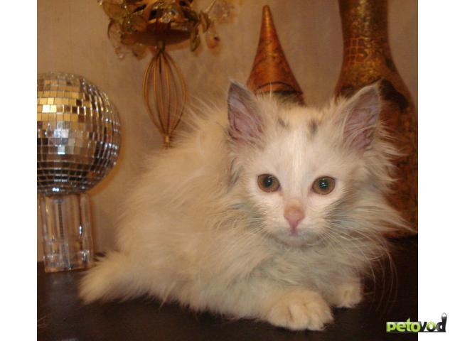 Отдам в дар: Отдам белого пушистого котёнка фото2